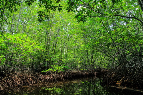 Mangrove Forest 3